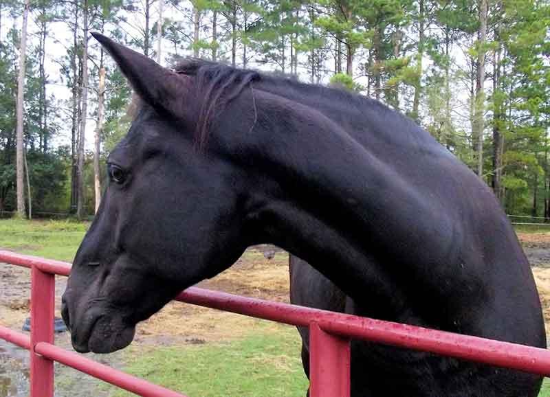 Tennessee Walker Horses