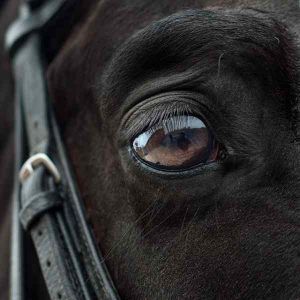 adopting an abused horse